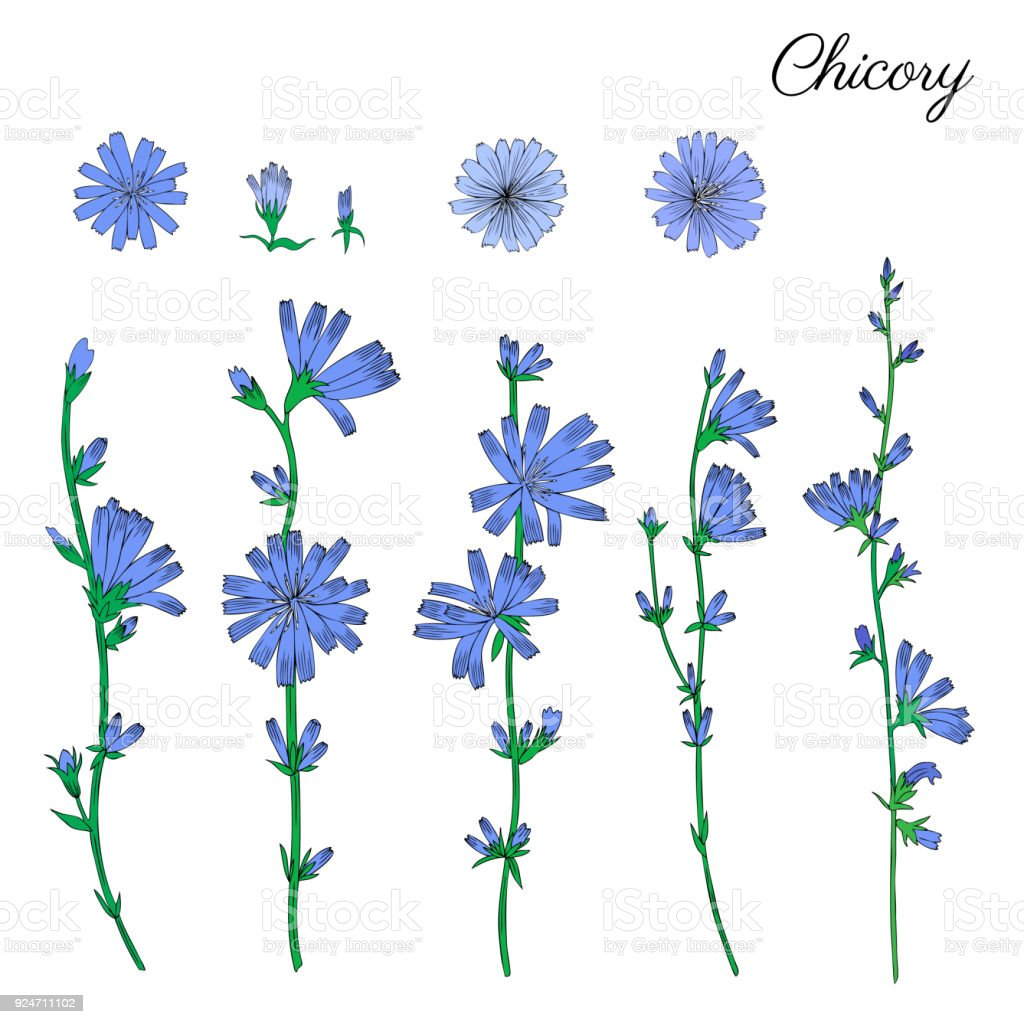Chicory flower bud head and leaves hand drawn graphic vector chicory flower bud head and leaves hand drawn graphic vector colorful illustration medical stopboris Choice Image