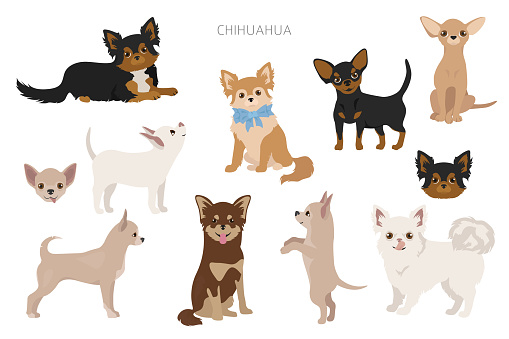 Chihuahua dogs in poses. Different varieties of coat color set