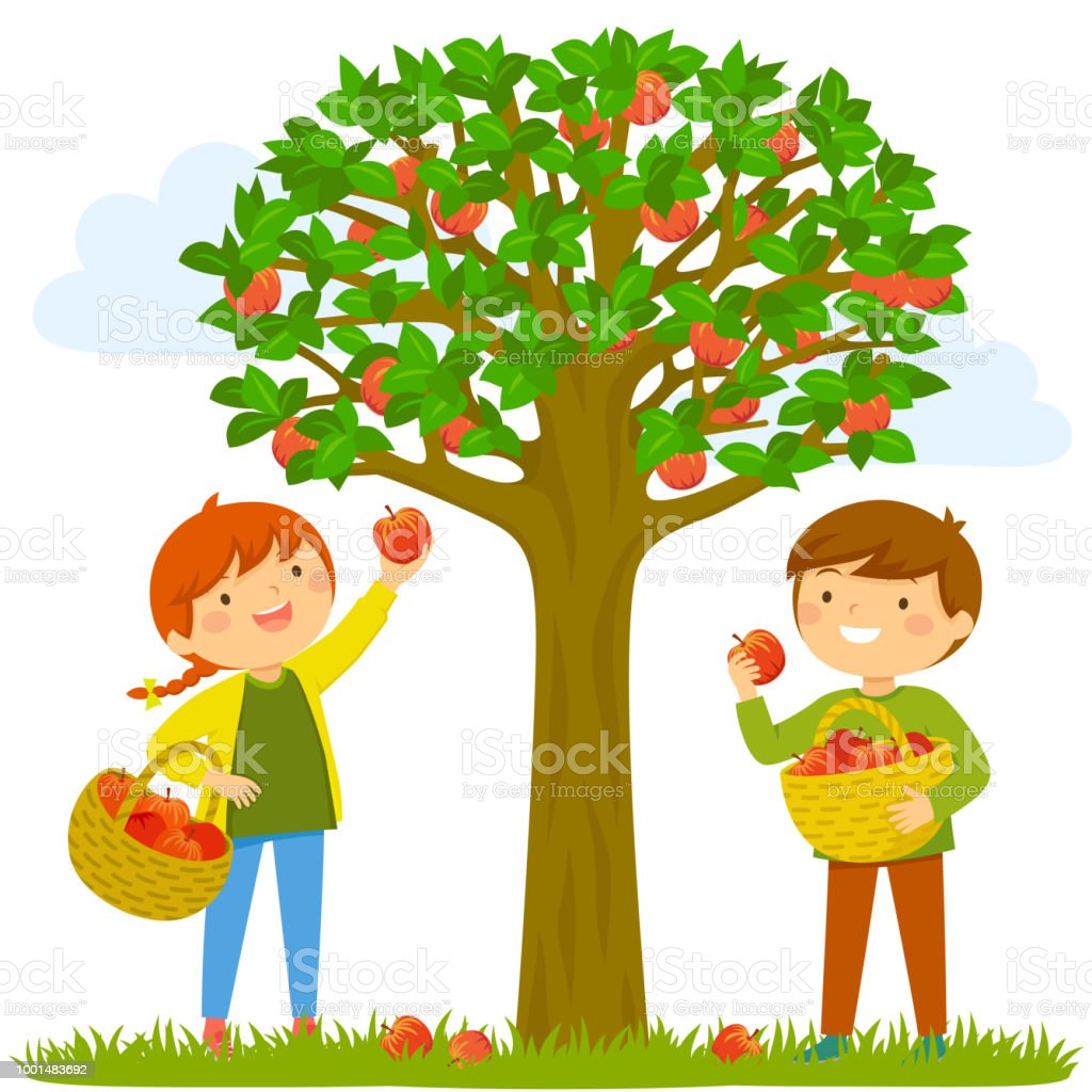 Children picking apples Two kids picking apples from the tree Agricultural Field stock vector