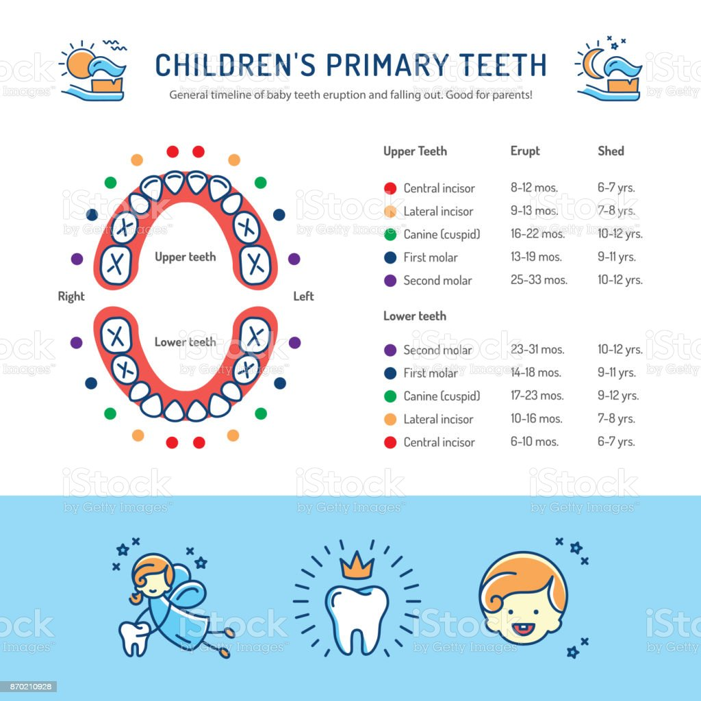 baby teeth growth chart