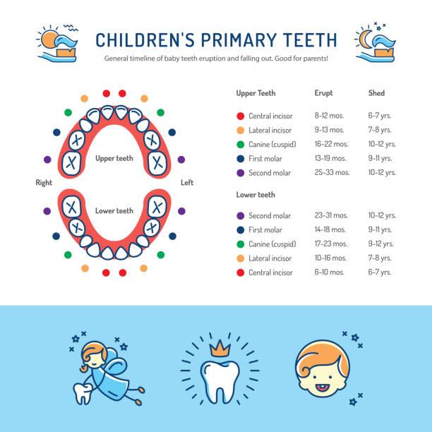 illustrazioni stock, clip art, cartoni animati e icone di tendenza di childrens primary teeth, schedule of baby teeth eruption. childrens dentistry infographics - scheda clinica
