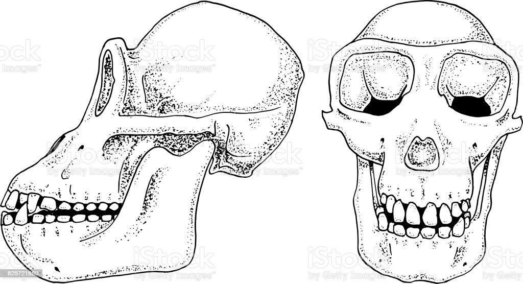 Ilustración de Biología De Chimpancé Ilustración De La Anatomía ...