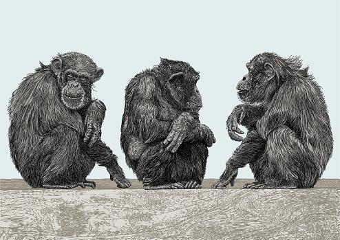 Chimpanzees Chatting. Three Chimps in conversation