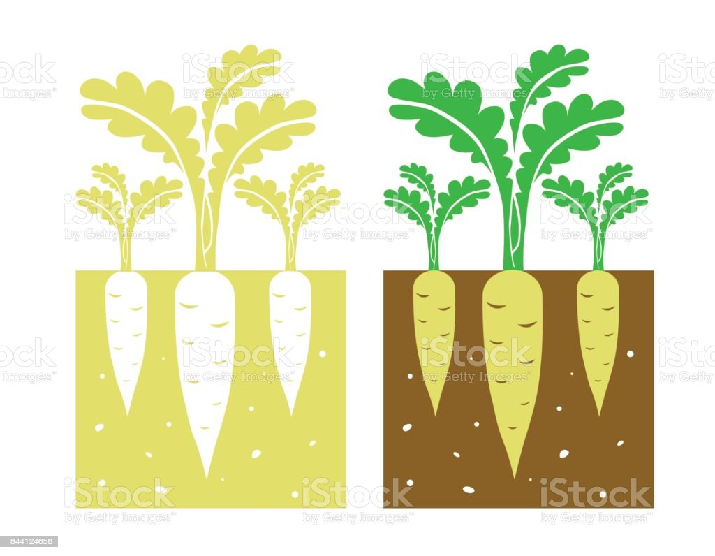 chinese turnip plant vector vector art illustration