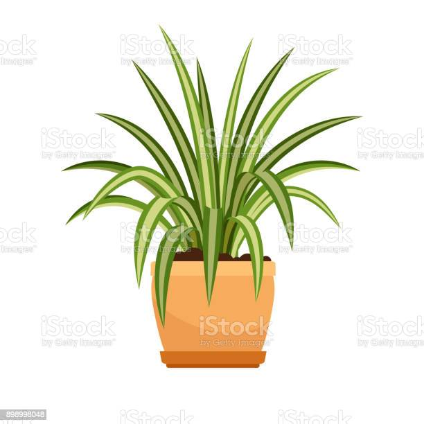 Chlorophytum house plant in flower pot vector id898998048?b=1&k=6&m=898998048&s=612x612&h=kpcv5nuwfiri082kpffboxx jfzswzabrclqe ghomk=