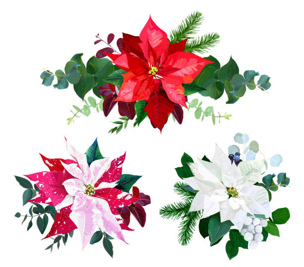 christmas bouquets arranged from red and white poinsettia fir branch vector art illustration - White Christmas Flower Decorations