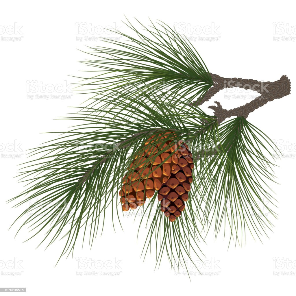 Christmas Composition Fir Tree Branch With Cones Green Pine Branch Closeup Christmas Tree Branches Pine Tree Eps10 Stock Illustration Download Image Now Istock