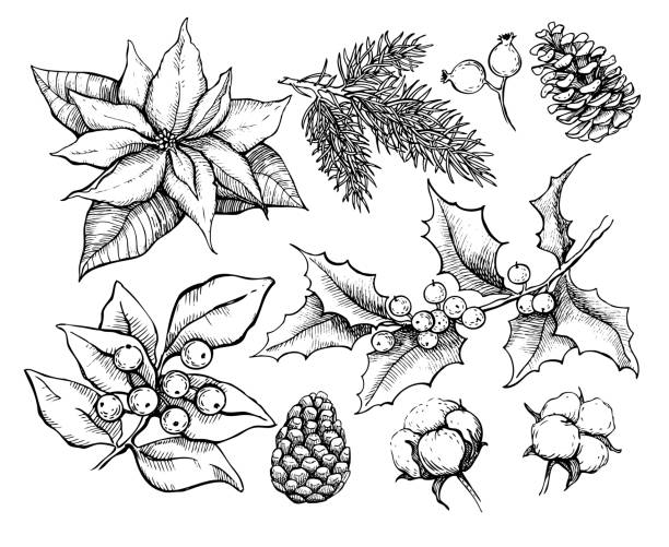 Christmas traditional plans. Vector drawing  illustration of holly, mistletoe, poinsettia, pine cone, Christmas traditional plans. Vector drawing  illustration of holly, mistletoe, poinsettia, pine cone, cotton, fir tree . Engraved xmas decoration element. Great for greeting and invitation card, holiday banner christmas drawings stock illustrations