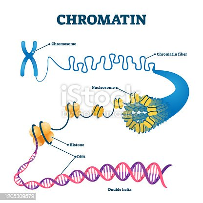 Chromation biological diagram vector illustration. Close-up with nucleosome, histone and DNA double helix. Science educational information. Chromosome structure elements graphic example model.