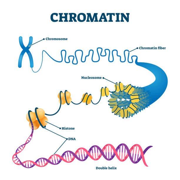 Chromation biological diagram vector illustration Chromation biological diagram vector illustration. Close-up with nucleosome, histone and DNA double helix. Science educational information. Chromosome structure elements graphic example model. chromosome stock illustrations