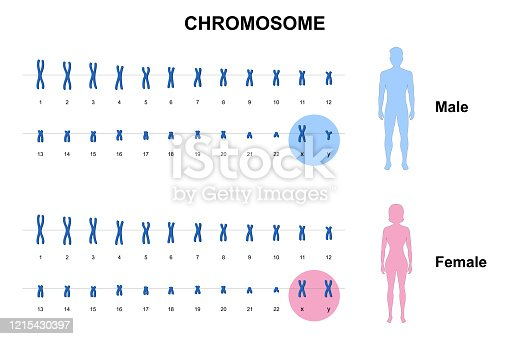 Autosome and sex chromosome, Normal human karyotype, Men and Women