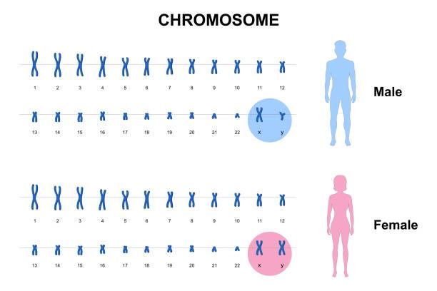 Chromosome 018-1 Autosome and sex chromosome, Normal human karyotype, Men and Women chromosome stock illustrations