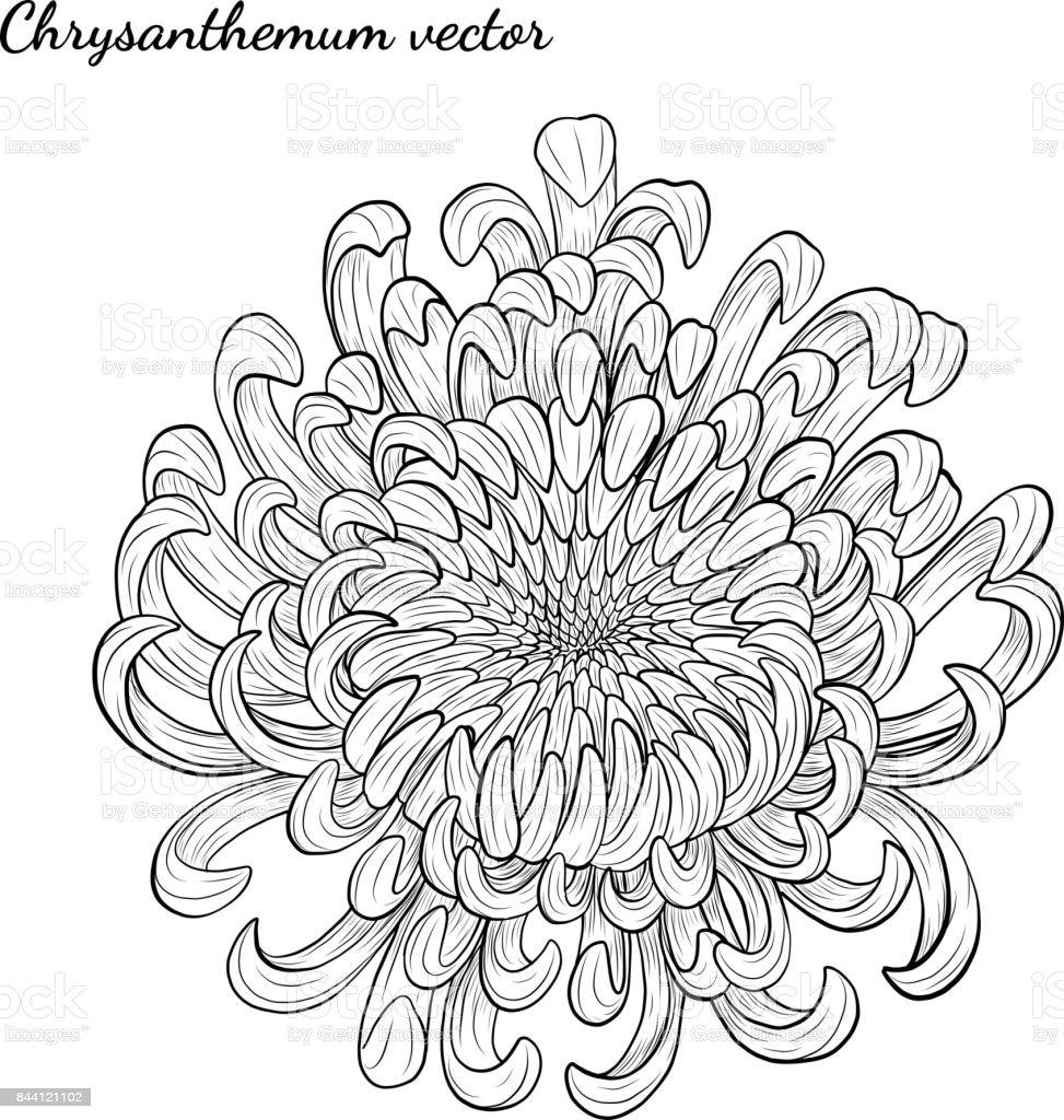 Fleur De Chrysantheme A La Main De Dessin Cliparts Vectoriels Et