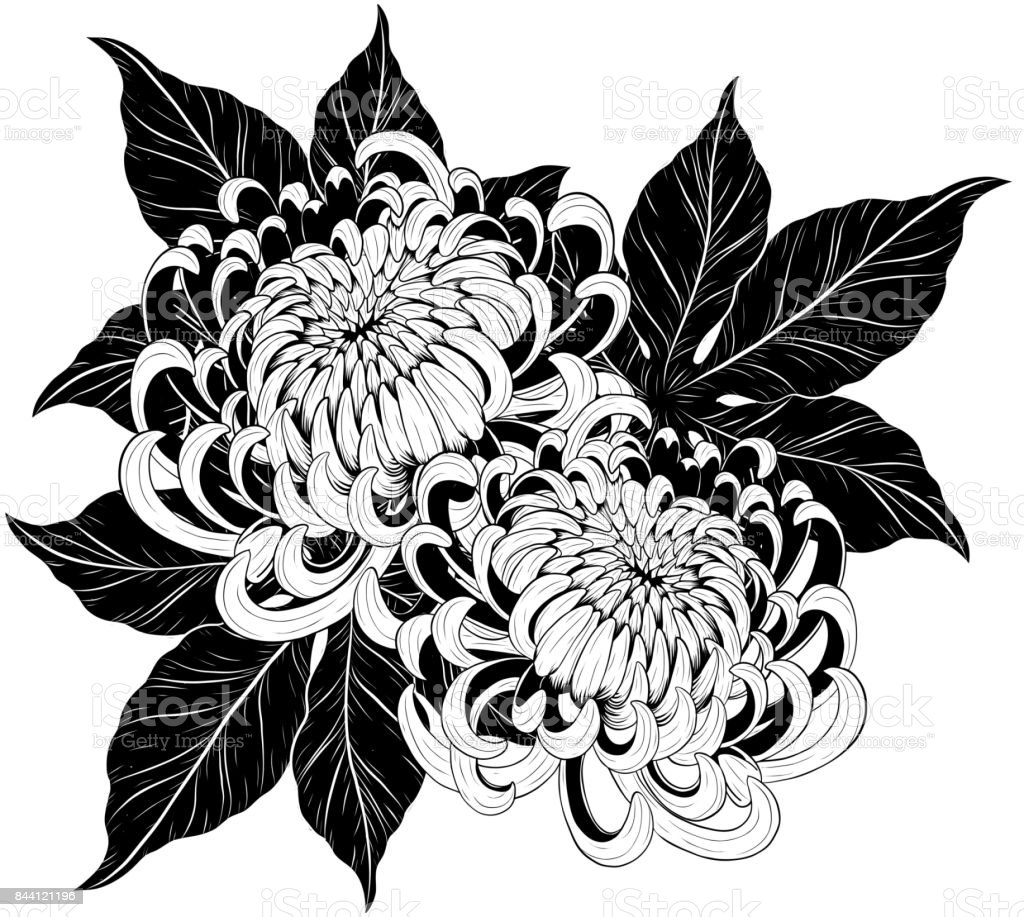 Chrysanthemum flower by hand drawing vector art illustration