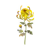 Chrysanthemum flower. Floral design. Yellow chrysanthemum eps10 vector illustration isolated on white