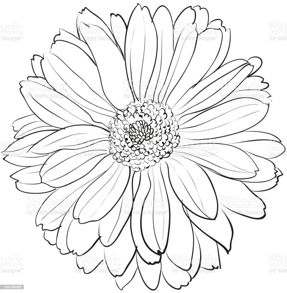 Camellia Flower Line Drawing : 흰색 배경의 국화 아이리스입니다 일러스트 istock