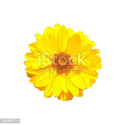 Chrysanthemum flower. Vector floral isolated colorful yellow plant. Golden-daisy.
