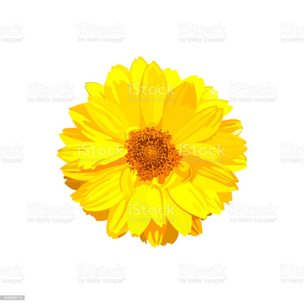 Chrysanthemum flower. Vector floral isolated colorful yellow pla vector art illustration