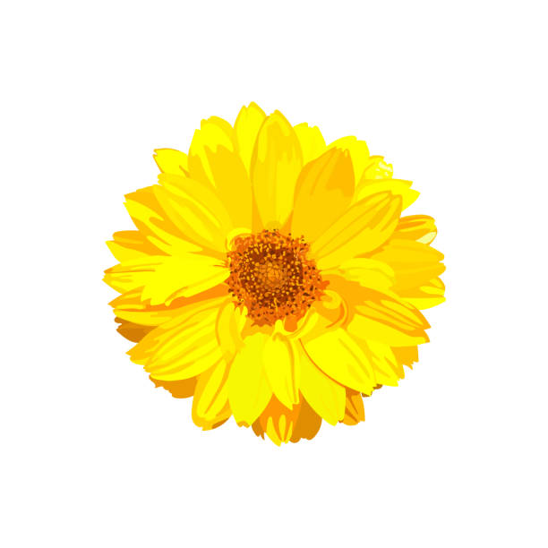 Chrysanthemum flower. Vector floral isolated colorful yellow pla Chrysanthemum flower. Vector floral isolated colorful yellow plant. Golden-daisy. daisy stock illustrations