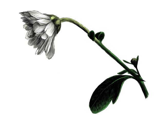 chrysanthemum flower – artystyczna grafika wektorowa