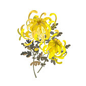 Chrysanthemum flowers. Floral bouquet design. Yellow chrysanthemum vector illustration isolated on white