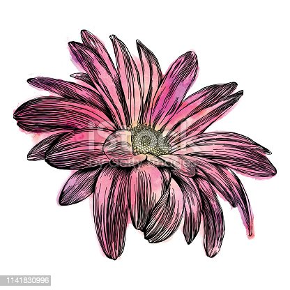 Chrysanthemum Flowers Pen and Ink Vector Watercolor Illustration
