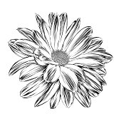 Chrysanthemum ink drawing. Vector EPS10 Illustration.