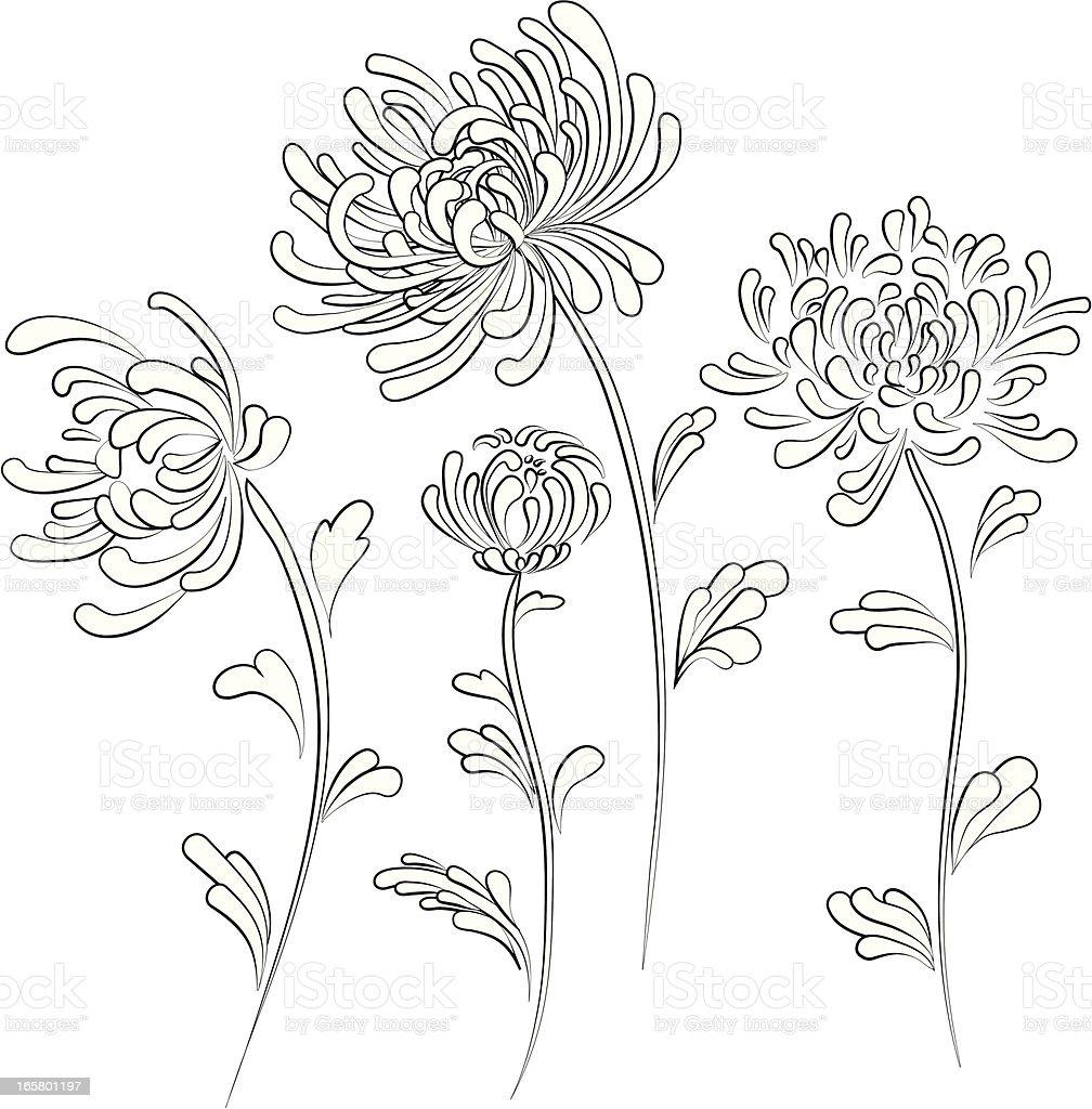Chrysanthemum Flower Line Drawing : Chrysanthemum stock vector art more images of autumn