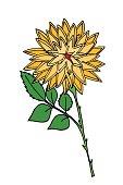 Chrysanthemum flower. Isolated on white. Vector illustration