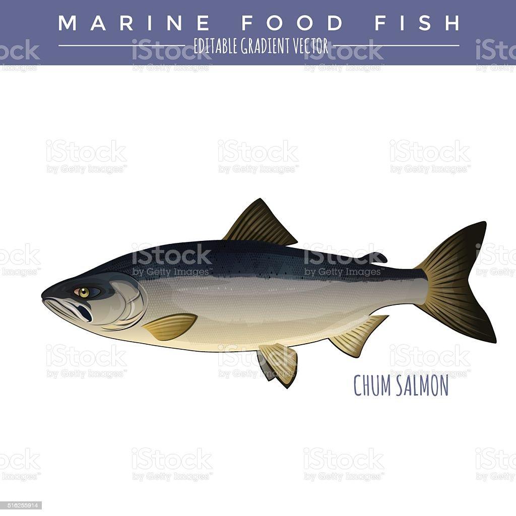 Chum Salmon. Marine Food Fish vector art illustration