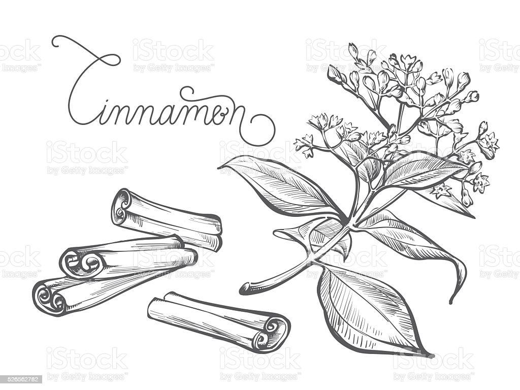 Cinnamon branch, leaf, flower, bark vector art illustration