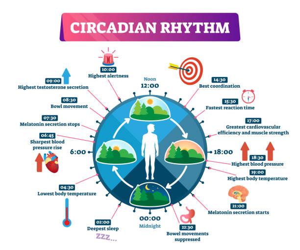 circadian rhythm vector illustration. labeled educational day cycle scheme. - rytm stock illustrations
