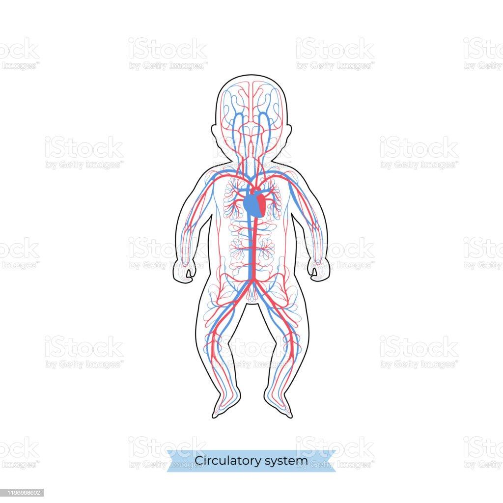 Circulatory System Anatomy Stock Illustration   Download Image Now
