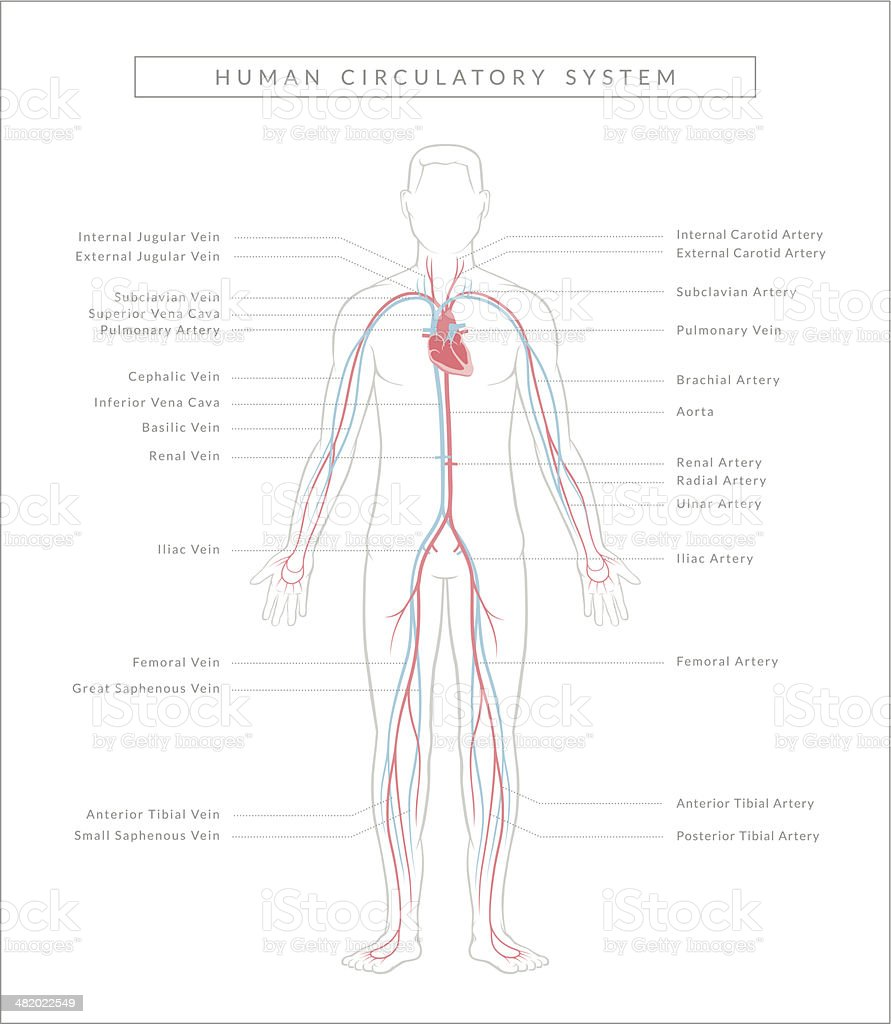 Circulatory System, Diagram vector art illustration
