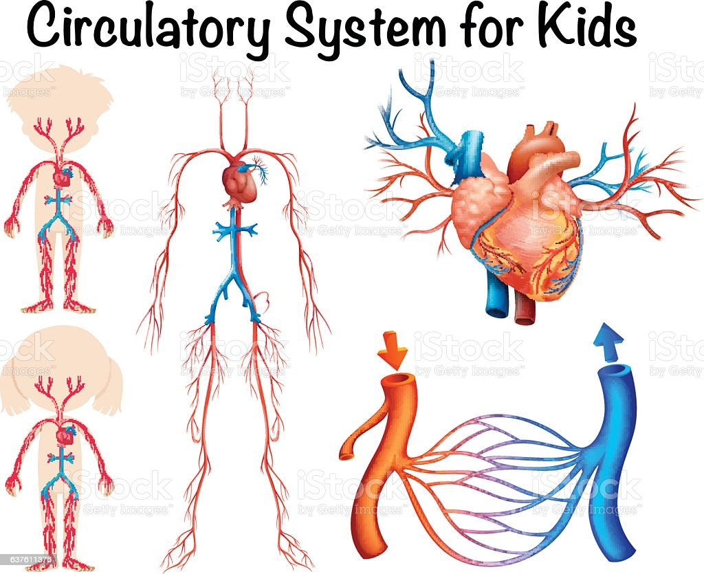 Circulatory System For Kids Stock Vector Art & More Images of ...
