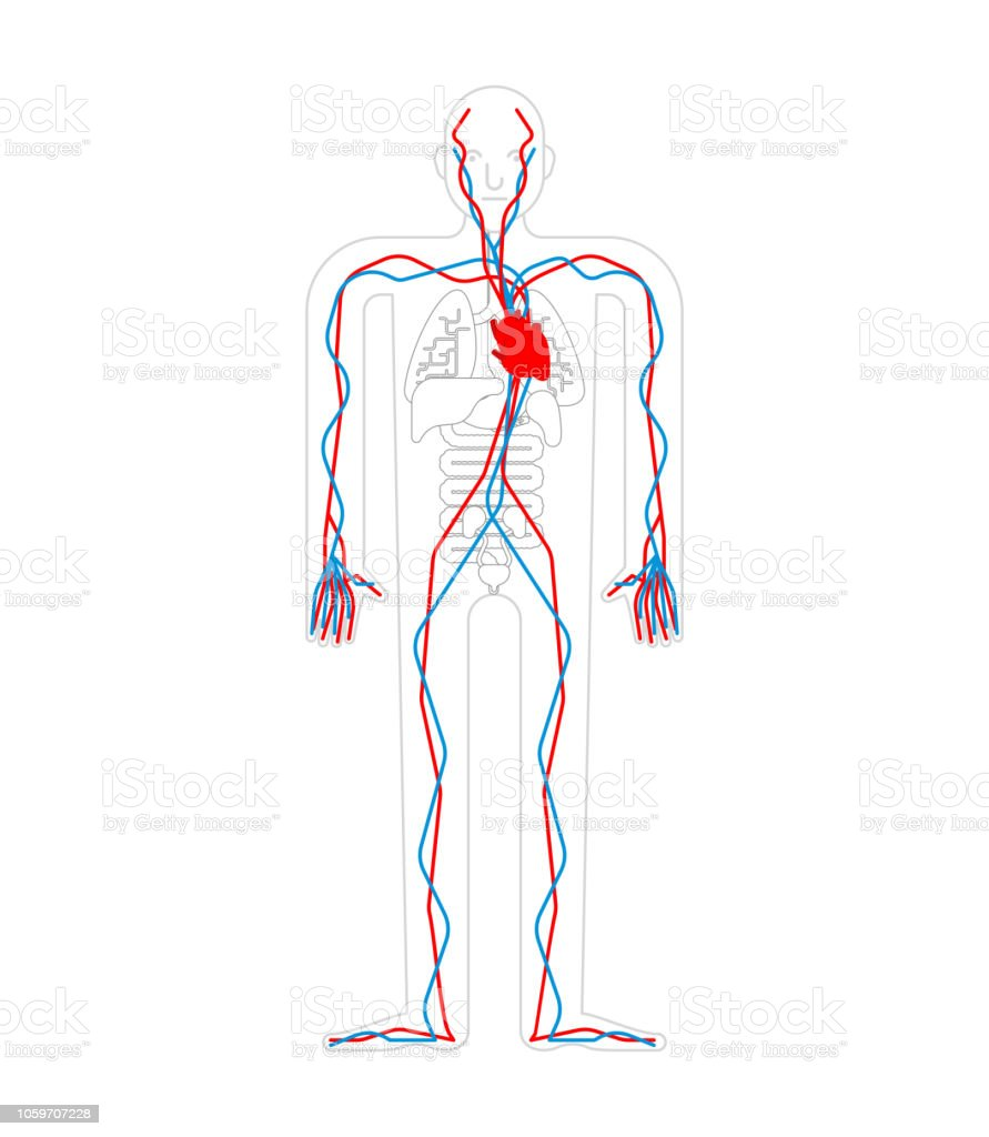 Circulatory System Heart And Blood Vessels Aorta And Artery Human