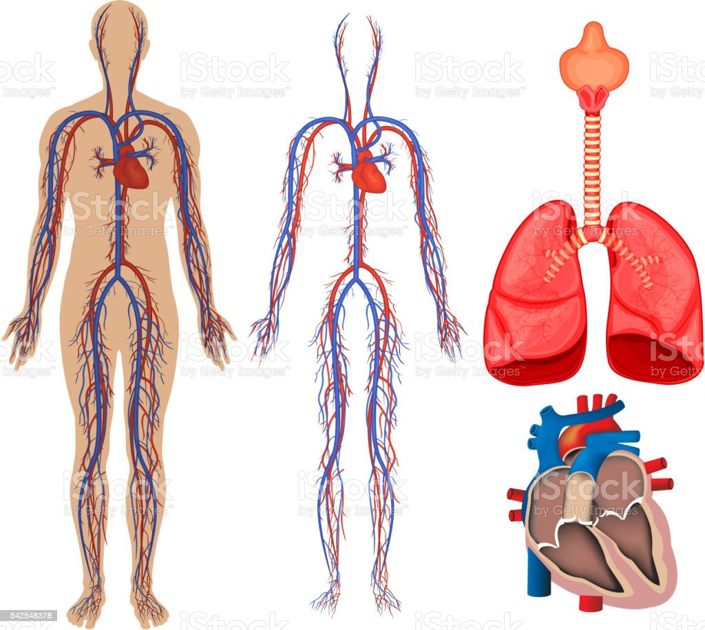 Kreislaufsystem In Menschlicher Körper Vektor Illustration 542548378 ...