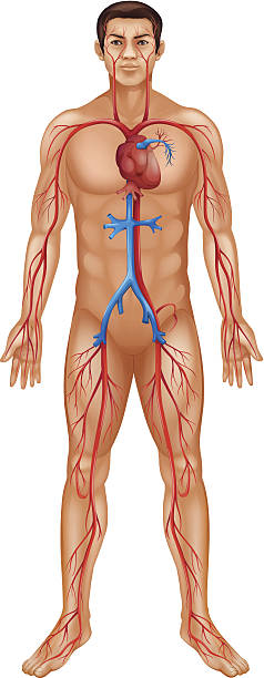 Circulatory system of the human body vector art illustration
