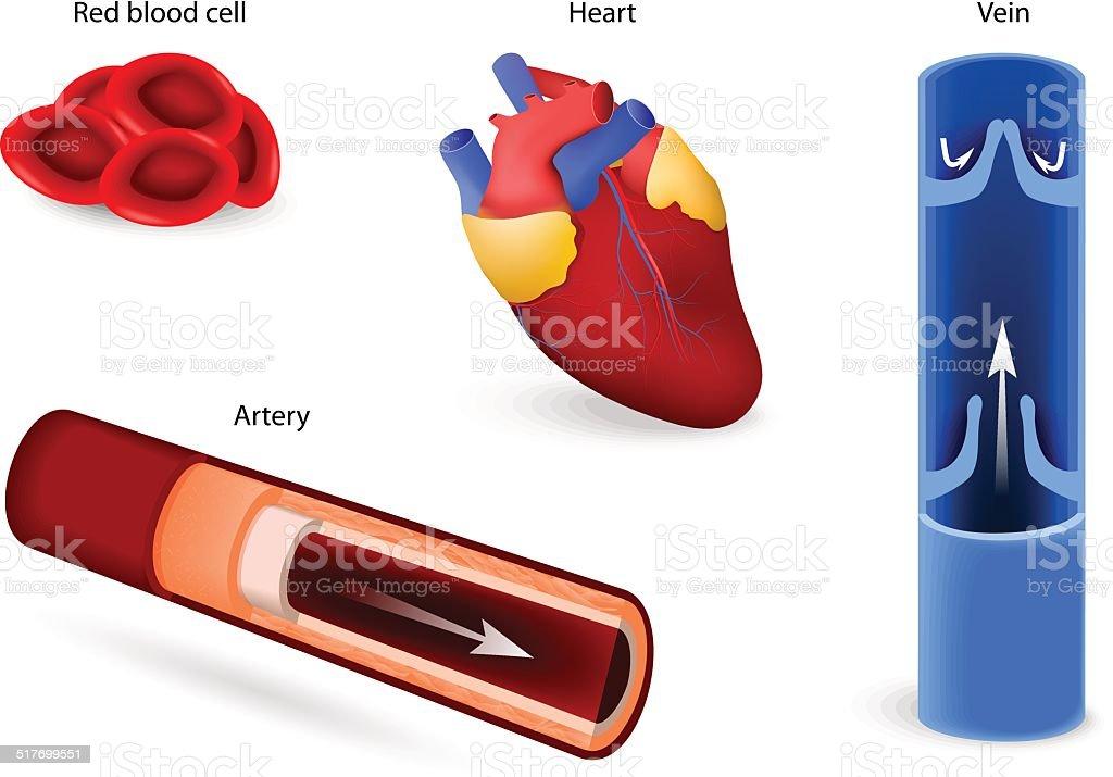 Kreislauf Oder Herzkreislaufsystem Stock Vektor Art und mehr Bilder ...