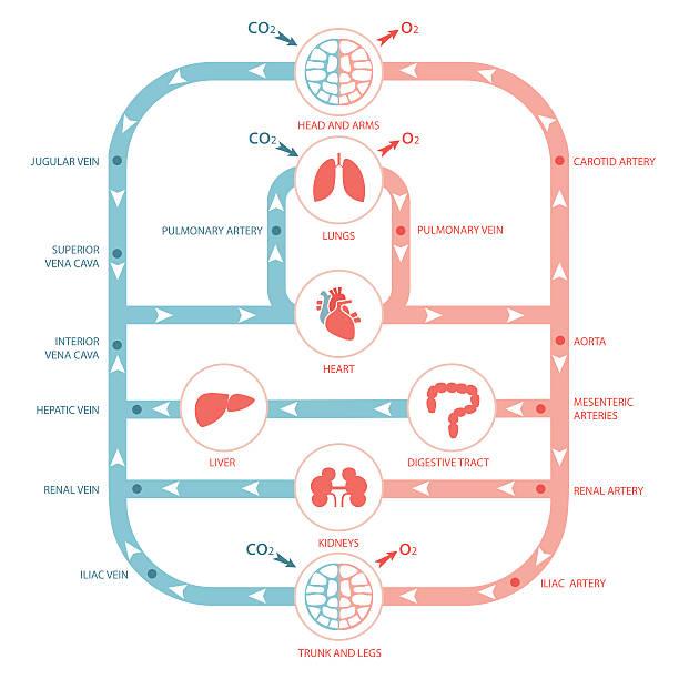 circulatory system, vector art illustration