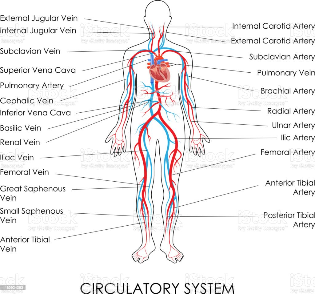Circulatory System vector art illustration