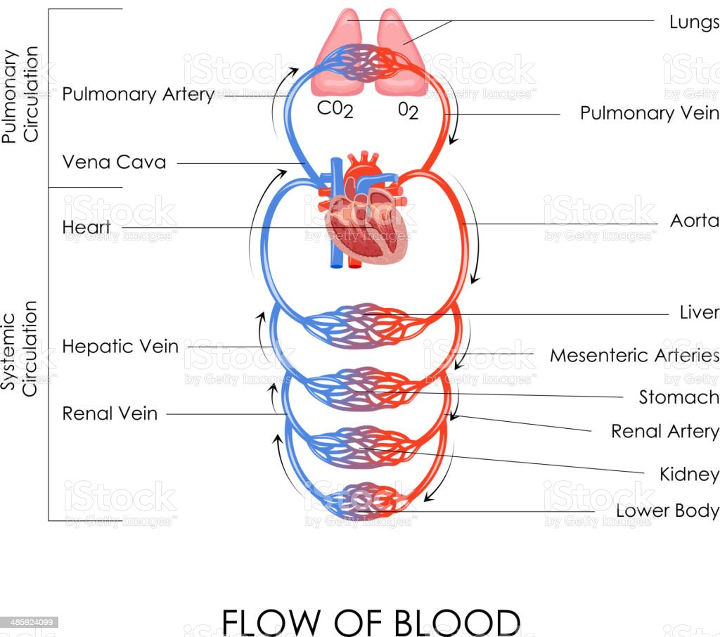Sistema Circulatorio - Arte vectorial de stock y más imágenes de ...