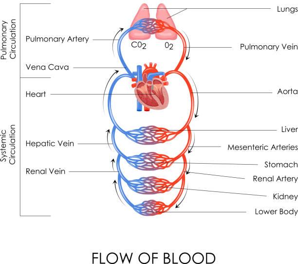 Circulatory System vector art illustration