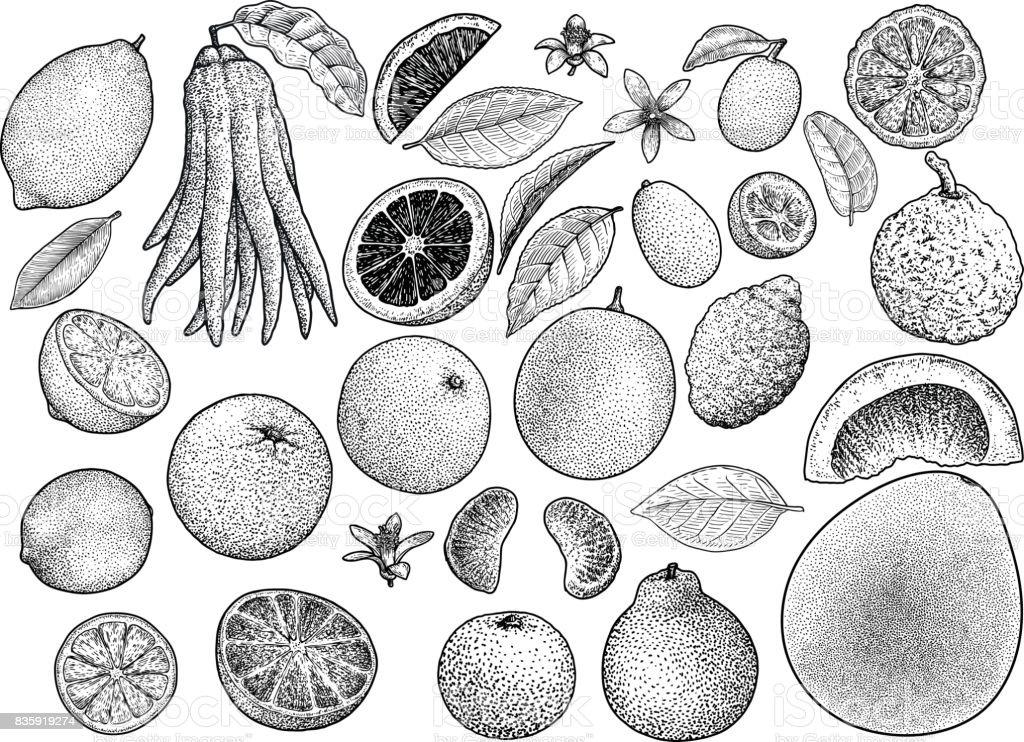 Citrus collection illustration, drawing, engraving, ink, line art, vector vector art illustration