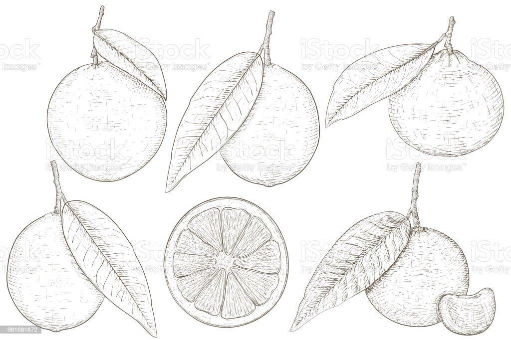 Ilustración de Cítricos Naranja Limón Limón Mandarina Boceto ...