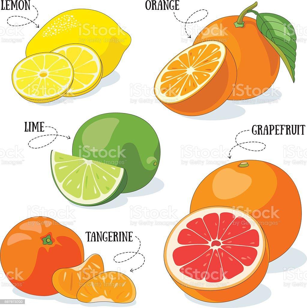 Citrus fruits vector art illustration