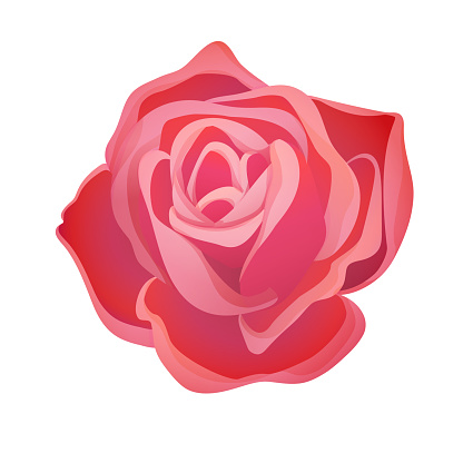 Classic blooming red rose bud on a white background