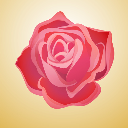 Classic blooming red rose bud