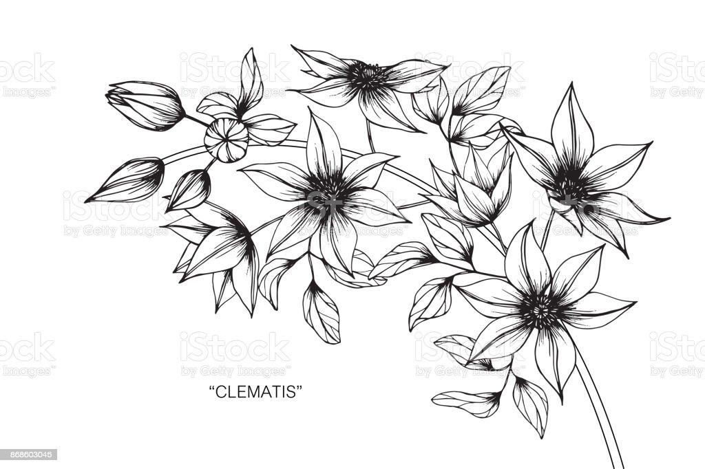 Fleur Clématite De Dessin Cliparts Vectoriels Et Plus D Images De