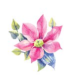 Pink clematis, tropical flower in watercolor. Vector hand-drawn element for invitation, postcard, wedding design.